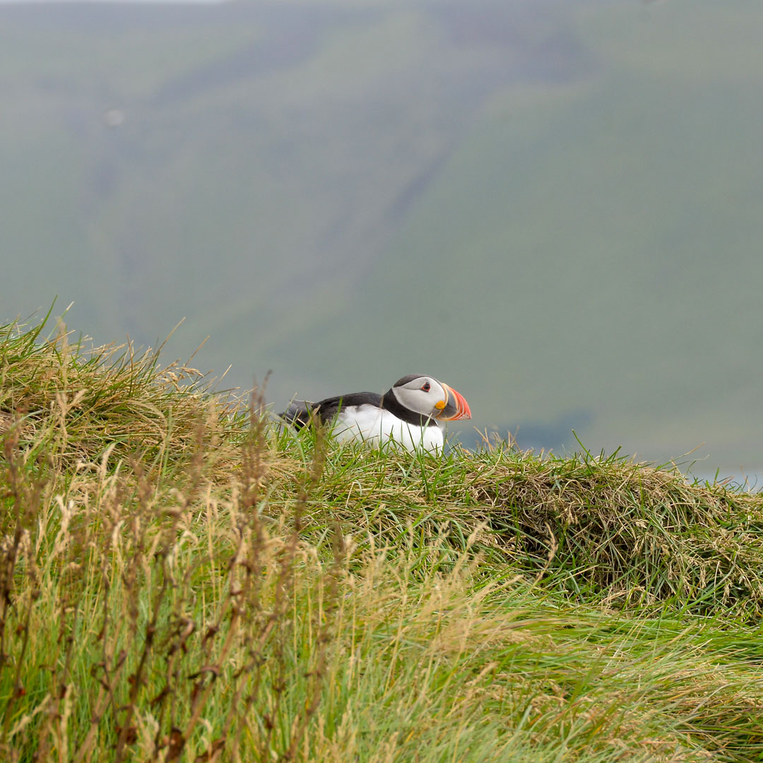 puffin-bird