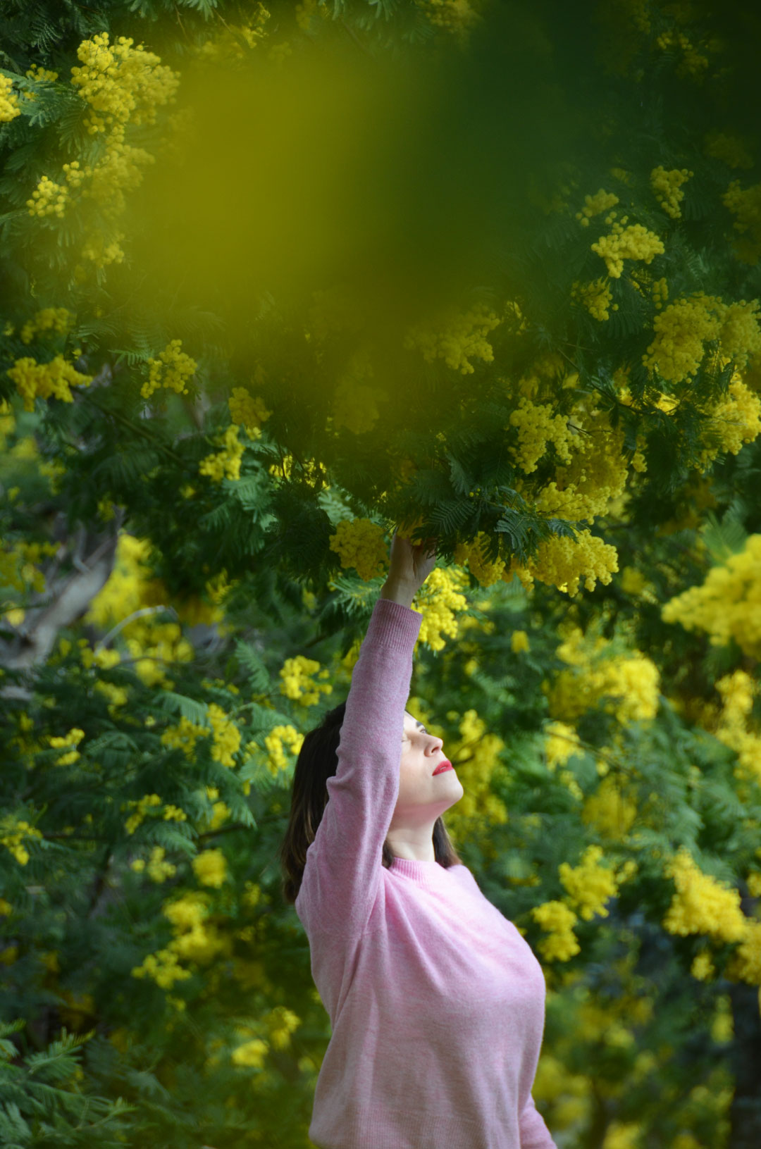 Mimosas en fleur