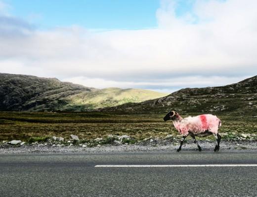 mouton-rose-apercu